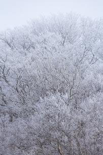 冬の朝  霧氷に包まれる木々の写真素材 [FYI04112382]