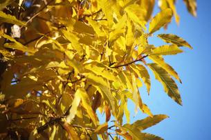 青空にクヌギの黄葉の写真素材 [FYI04112689]