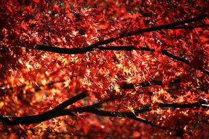 赤く染まり始めたモミジの紅葉の写真素材 [FYI04112695]