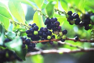 黒紫色に熟したヒサカキの実の写真素材 [FYI04112701]