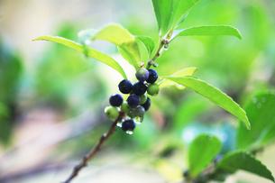 黒紫色に熟したヒサカキの実の写真素材 [FYI04112702]