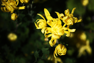 秋菊・黄色い花の写真素材 [FYI04112710]