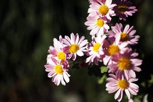 秋菊・スプレーマムの花の写真素材 [FYI04112711]