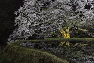 駒つなぎの夜桜の写真素材 [FYI04112876]