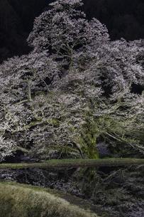 駒つなぎの夜桜の写真素材 [FYI04112878]