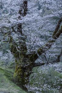 駒つなぎの桜のアップの写真素材 [FYI04112884]