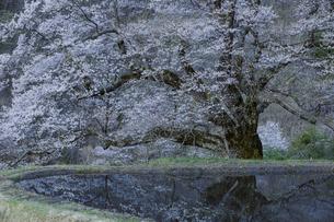 夜明け前の駒つなぎの桜の写真素材 [FYI04112888]
