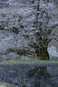 夜明け前の駒つなぎの桜の写真素材 [FYI04112889]