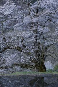 夜明け前の駒つなぎの桜の写真素材 [FYI04112890]