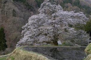 水田と駒つなぎの桜の写真素材 [FYI04112891]