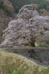 水田と駒つなぎの桜の写真素材 [FYI04112893]