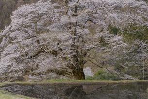水田と駒つなぎの桜の写真素材 [FYI04112894]