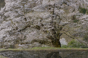 駒つなぎの桜の写真素材 [FYI04112895]