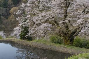 水田と駒つなぎ桜の写真素材 [FYI04112897]