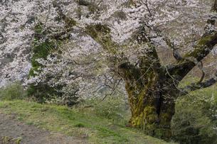 早朝の駒つなぎの桜の写真素材 [FYI04112898]