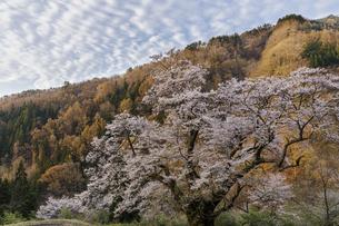 駒つなぎの桜の朝の写真素材 [FYI04112903]