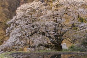 朝日をうける駒つなぎの桜の写真素材 [FYI04112905]