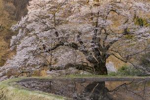 朝日を迎える駒つなぎの桜の写真素材 [FYI04112906]
