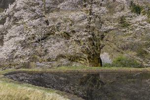 駒つなぎの桜の写真素材 [FYI04112911]