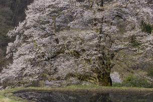 駒つなぎの桜の写真素材 [FYI04112912]
