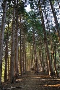 朝日射し込む山林の写真素材 [FYI04112928]