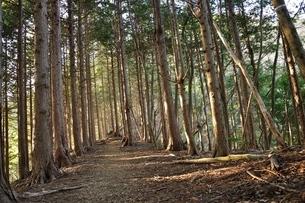 朝日射し込む山林の写真素材 [FYI04112929]