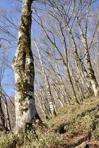 早春のブナ林の写真素材 [FYI04112938]