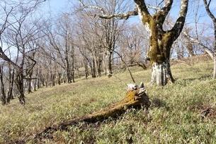笹原のブナ大木の写真素材 [FYI04112939]