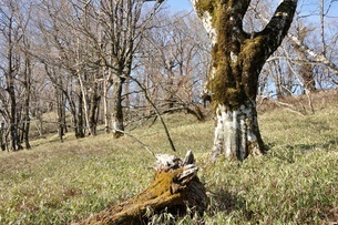 笹原のブナ大木の写真素材 [FYI04112940]