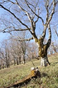 笹原のブナ大木の写真素材 [FYI04112941]