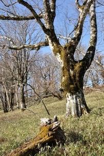 笹原のブナ大木の写真素材 [FYI04112942]