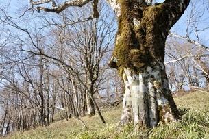 笹原のブナ大木の写真素材 [FYI04112943]