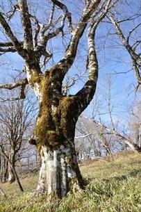 笹原のブナ大木の写真素材 [FYI04112944]