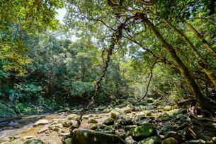 西表島のジャングルの写真素材 [FYI04112992]
