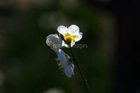スポットライトの梅の花の写真素材 [FYI04113368]