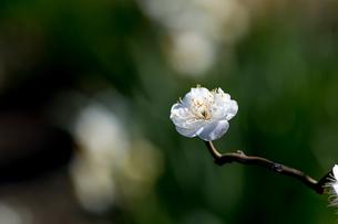 一輪の梅の花の写真素材 [FYI04113370]