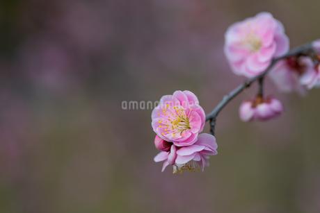 枝垂れ梅の写真素材 [FYI04113375]