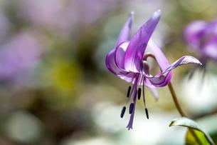 カタクリの花の写真素材 [FYI04113377]