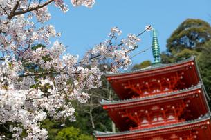 桜と三重塔の写真素材 [FYI04113379]