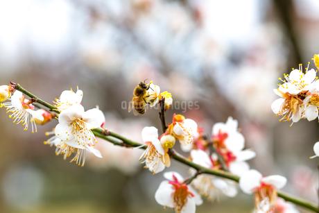 ミツバチと梅の花の写真素材 [FYI04113405]