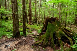 赤沢自然休養林 の写真素材 [FYI04113700]