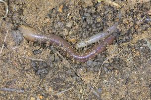 土の中を這うミミズ類の写真素材 [FYI04113713]