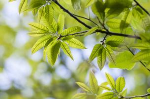 新緑の山栗の葉の写真素材 [FYI04113728]
