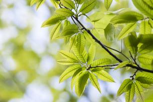 新緑の山栗の葉の写真素材 [FYI04113729]