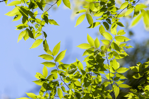 青空を背景にした広葉樹の新緑の写真素材 [FYI04113737]