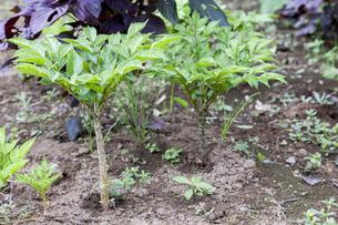 コンニャクの茎と葉の写真素材 [FYI04113739]