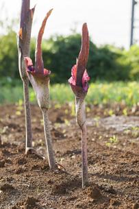 畑に咲くコンニャクの花の写真素材 [FYI04113743]