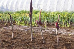 畑に咲くコンニャクの花の写真素材 [FYI04113749]
