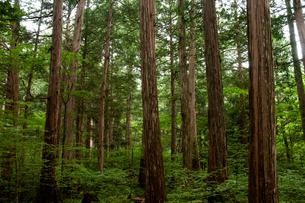 赤沢自然休養林 ヒノキ林の写真素材 [FYI04113767]