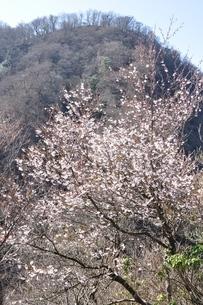 西丹沢に咲くサクラの写真素材 [FYI04113854]